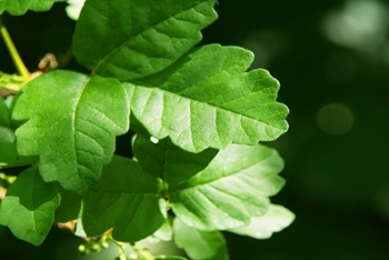 It's all fun and games – until someone gets a rash from poison ivy or poison oak. Here, David Cosenza, MD, medical director of virtual care at Atrium Health shares that basics about what you need to know when it comes to poison ivy and poison oak.